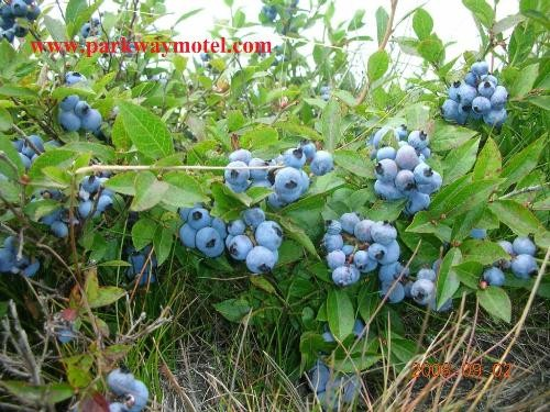 Blueberries13